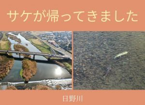日野川にサケが帰ってきました