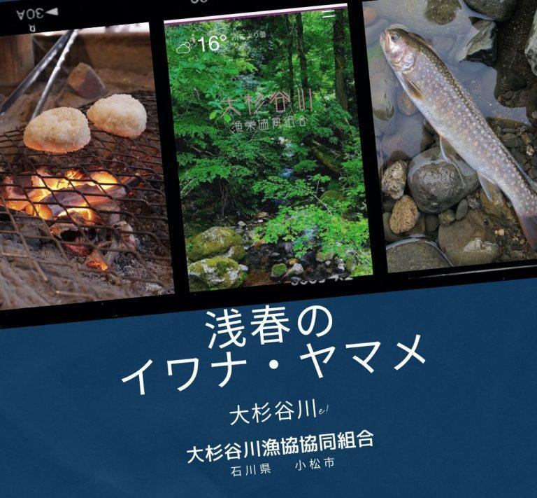 昨年放流の稚魚イワナ・ヤマメが成長〜浅春の石川県 大杉谷川に〜