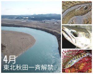 いよいよ東北 米代川サクラマス・秋田県渓流魚が解禁