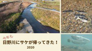 今年も日野川にサケが帰ってきた!