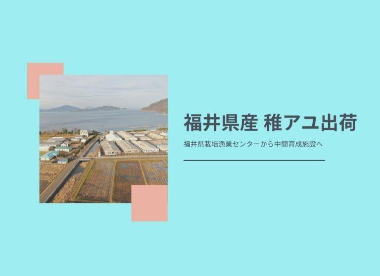 今年も福井県産稚アユ出荷が始まりました